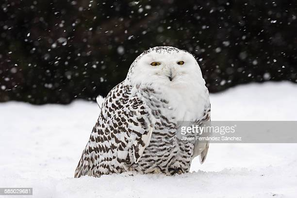 A snowy owl in the snow while it's snowing