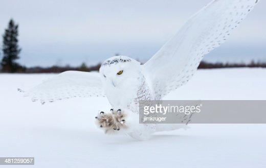 Snowy owl landing in Northern Minnesota.