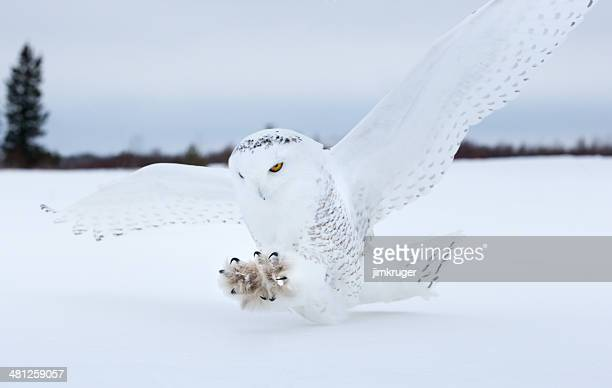 Snowy owl landing in Northern Minnesota.