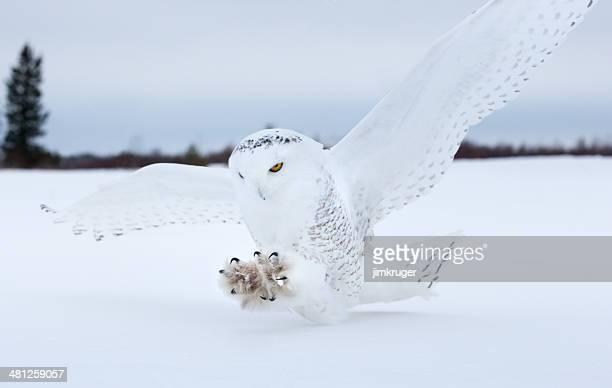 Búho nival landing en el norte de Minnesota.