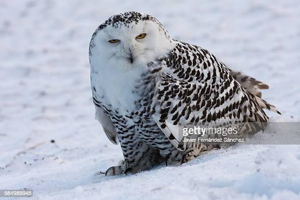 Snowy owl looking at camera