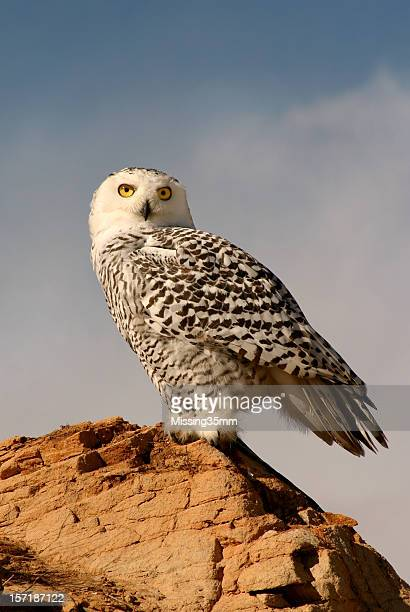 Snowy Owl on a Bluff