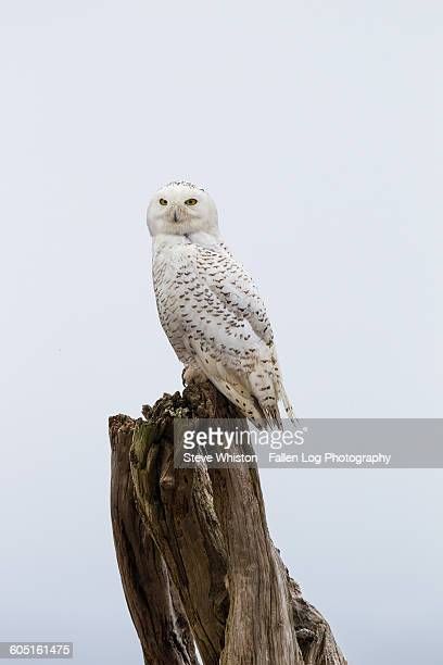 Snowy owl on tree trunk