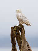 Snowy owl perched on logs