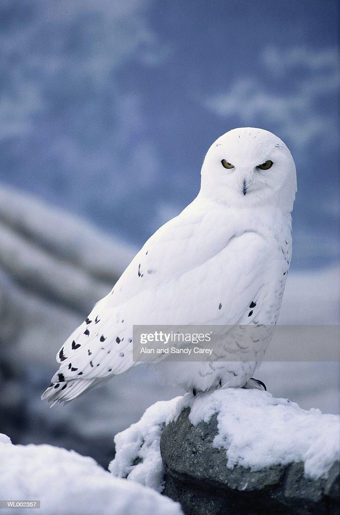 Snowy owl (Nyctea scandiaca) perching on snow covered rock : Stock Photo