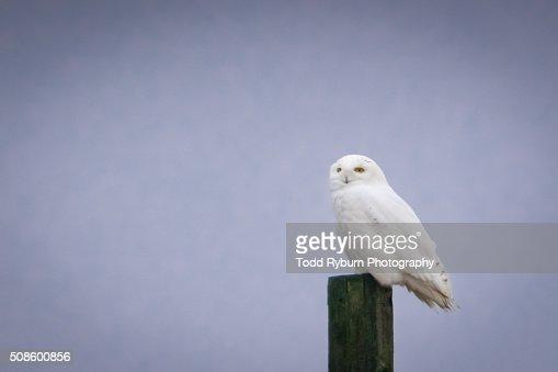Snowy Owl : Foto de stock