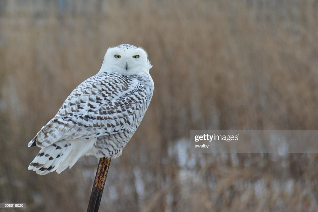 Snowy Owl : Stock Photo