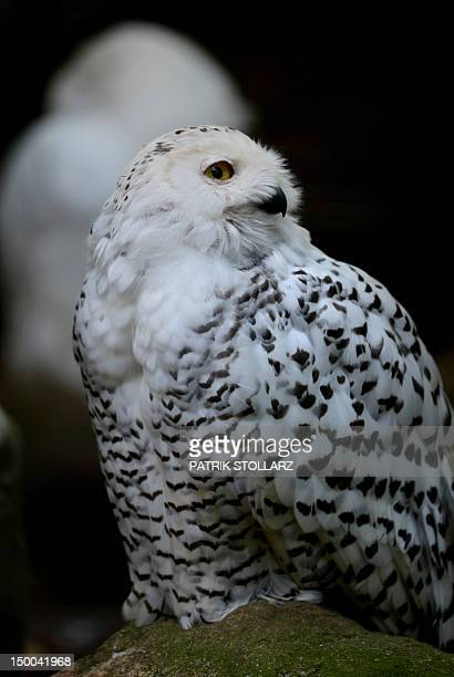 A Snowy Owl sits on a stone at the zoo in Wuppertal western Germany on August 9 2012 The Snowy Owl was first classified in 1758 by Carolus Linnaeus...
