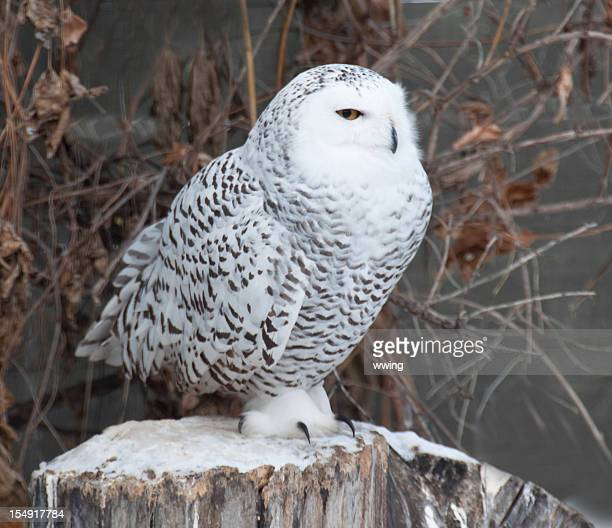 Snowy Owl.. Uninterested