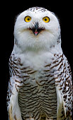 Snowy owl with open beak