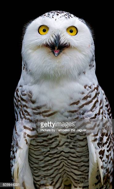 Snowy owl with open beak