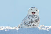 A snowy owl yawning which looks like its laughing.  The owl is sitting in the snow and set against a blue sky.  Snowy owls, bubo scandiacus, are a protected species and one of the largest owls.  This