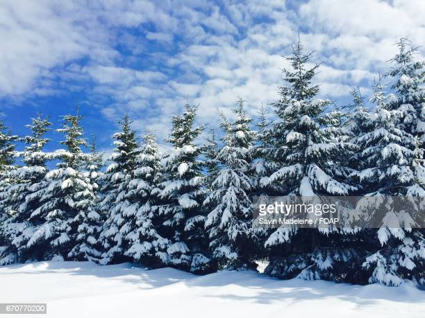 Snowy pine trees at outdoors