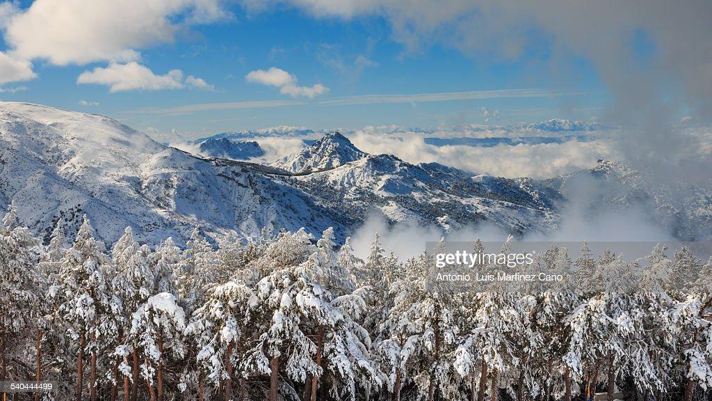 Snowy pines : Stock Photo