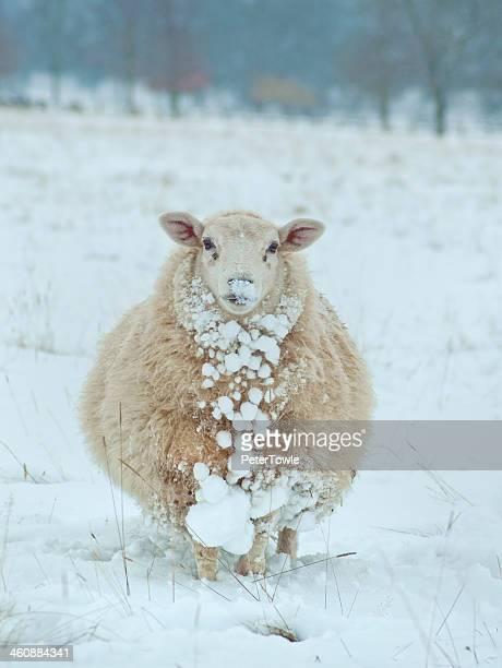 Snowy Sheep Shot
