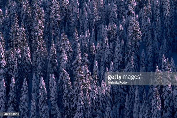 Snowy trees in the Sierra mountains