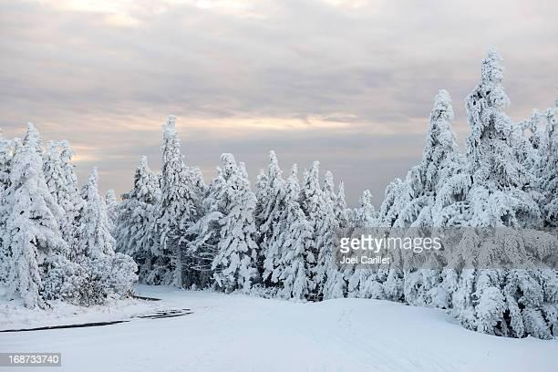 Snowy winter forest landscape at dusk on Roan Mountain