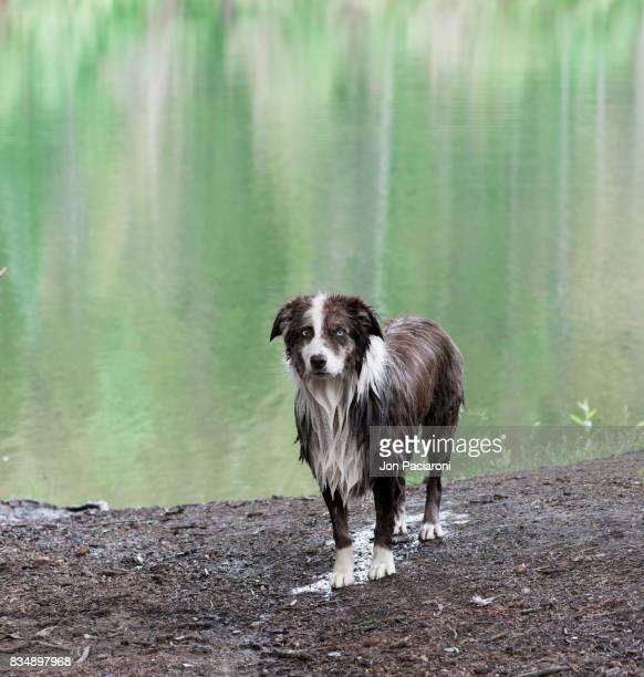 A Soaking Wet Australian Shepherd