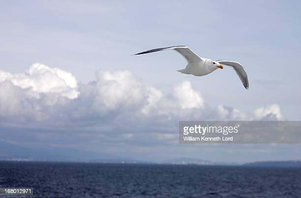 Soaring Seagull flying free over the ocean