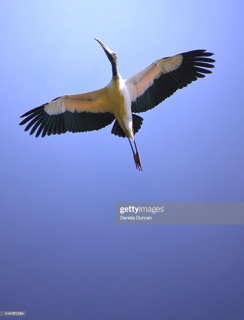 Soaring stork : Stock Photo