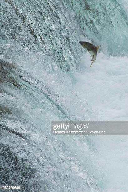 Sockeye salmon attempting to jump the falls at brooks camp in katmai national park