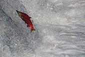 Sockeye Salmon Jumping Brooks Falls