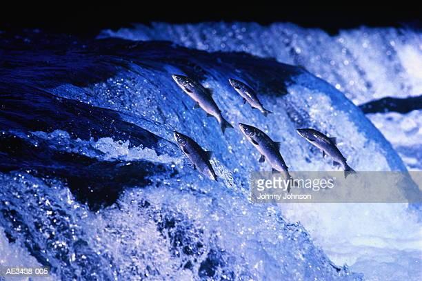 Sockeye salmon (Oncorhynchus nerka) negotiating falls (Composite)