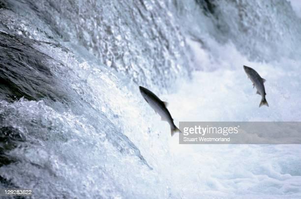 Sockeye salmon spawning, Katmai NP, AK