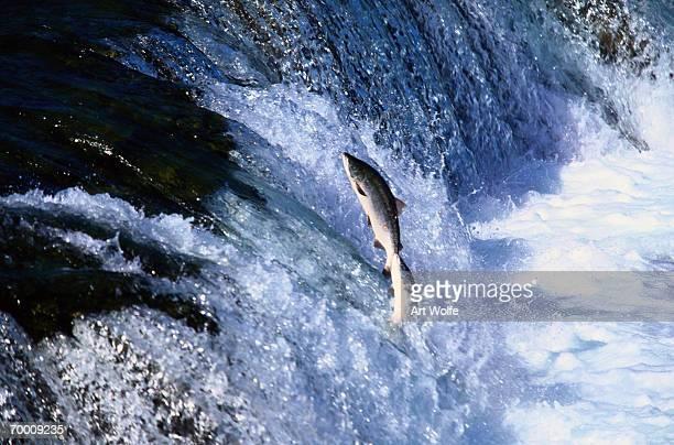 Sockeye Salmon (Oncorhynchus nerka) swimming up-stream, Alaska