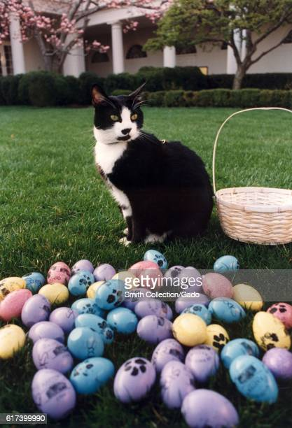 Socks the Cat the First Pet of President Bill Clinton and First Wife Hillary Rodham Clinton with black fur white face red collar and amber eyes...