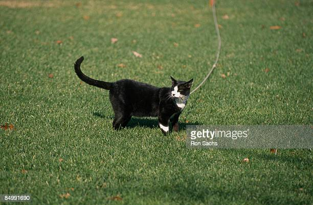 Socks the Clinton family's pet cat stands on the lawn outside the Oval Office of the White House Washington DC 6th December 1993