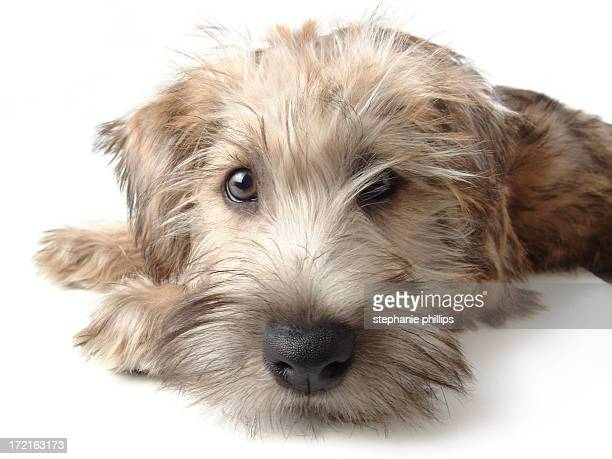 Soft Coated Wheaten Terrier Laying Down on White Background