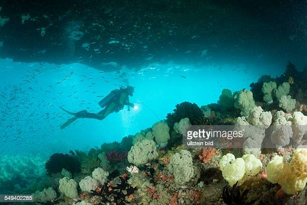 Soft Coral and Scuba Diver Dendronephthya mucronata Raja Ampat West Papua Indonesia