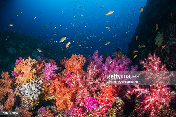 Soft corals on coral reefs