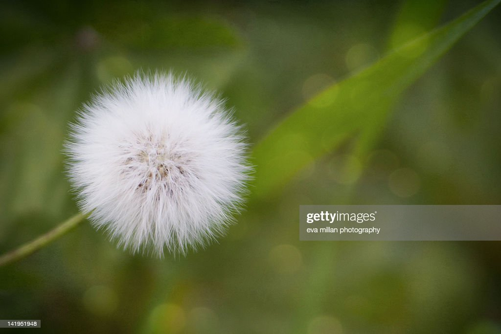 Soft dandelion : Stock Photo