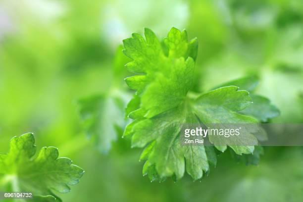 Soft focus macro image of Parsley leaves
