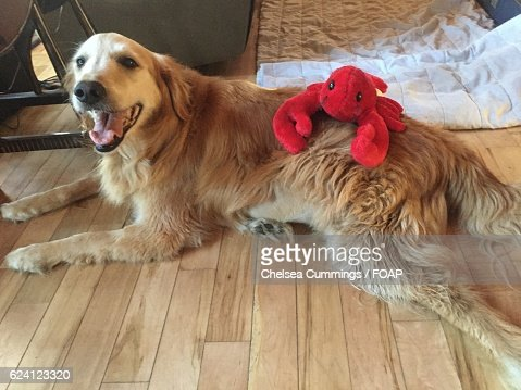Soft lobster toy on Golden Retriever