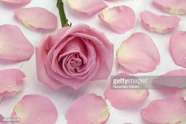 Soft pale pink rose and petals with water drops.