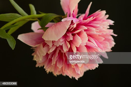 Soft pink peony flower : Stock Photo