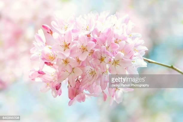Soft Pink Spring Cherry Blossom