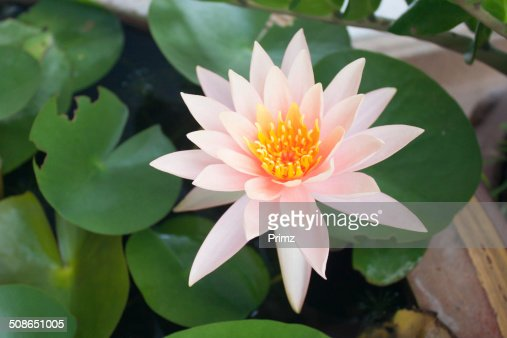Soft white lotus In a background : Stock Photo