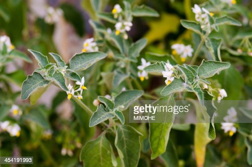 Solanum Nigrum : Foto de stock