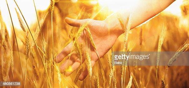 Solar wheat : Stock Photo