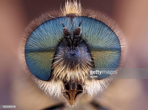 Soldato Fly (Stratiomyidae)