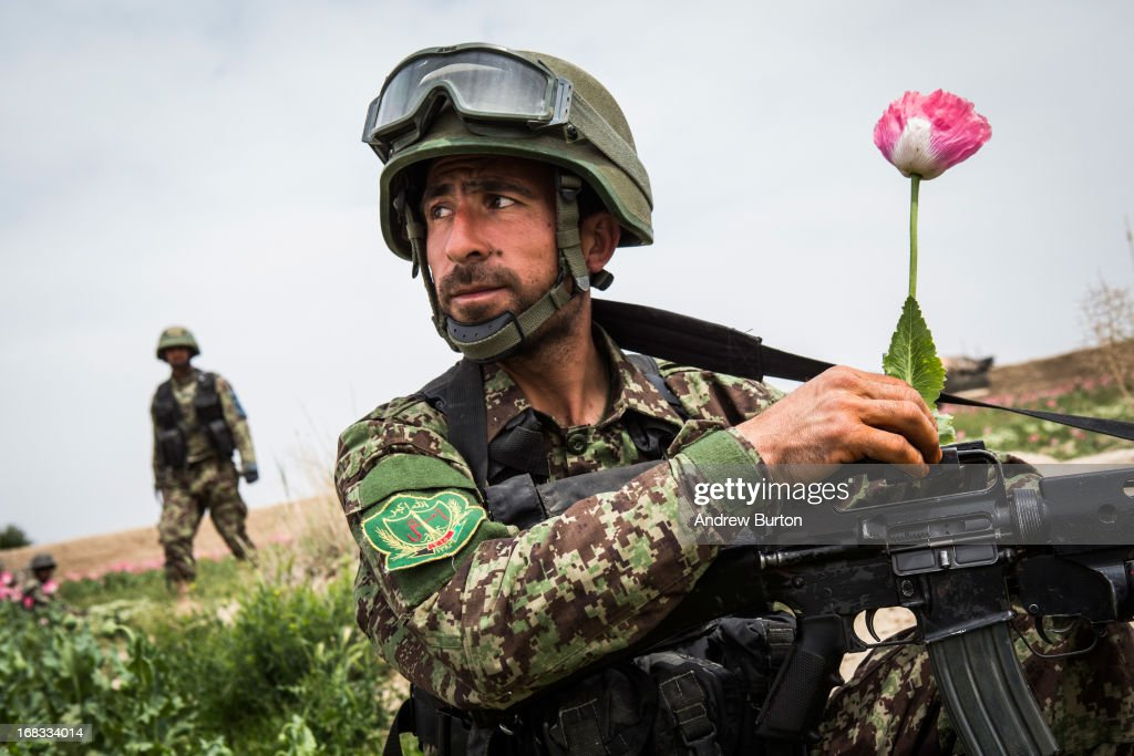 A soldier in the Afghan National Army's 6th Kandak (battalion), 3rd company picks a poppy flower during a joint patrol with the U.S. Army's 1st Battalion, 36th Infantry Regiment near Command Outpost Pa'in Kalay on April 5, 2013 in Kandahar Province, Maiwand District, Afghanistan. The United States military and its allies are in the midst of training and transitioning power to the Afghan National Security Forces in order to withdraw from the country by 2014.