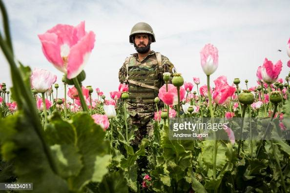 A soldier in the Afghan National Army's 6th Kandak 3rd company walks through a poppy field during a joint patrol with the US Army's 1st Battalion...