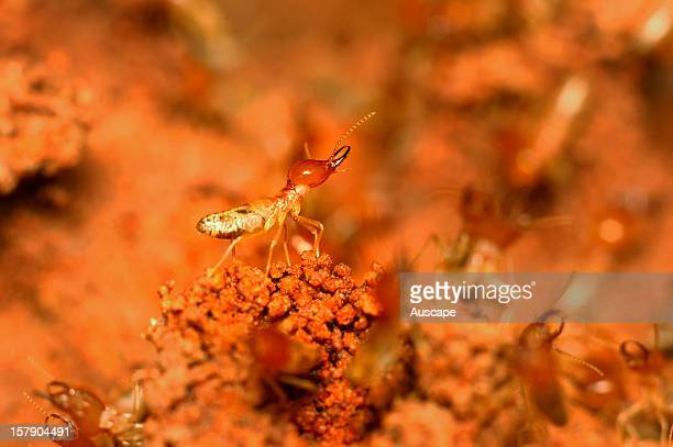 A soldier termite defending its termitarium while workers build after rain in the spinifex dunefields on Cravens Peak station part of the...