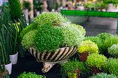 Soleirolia soleirolii green plants in flowerpot selling in shop. Potted Helxine flowers sale in garden centre