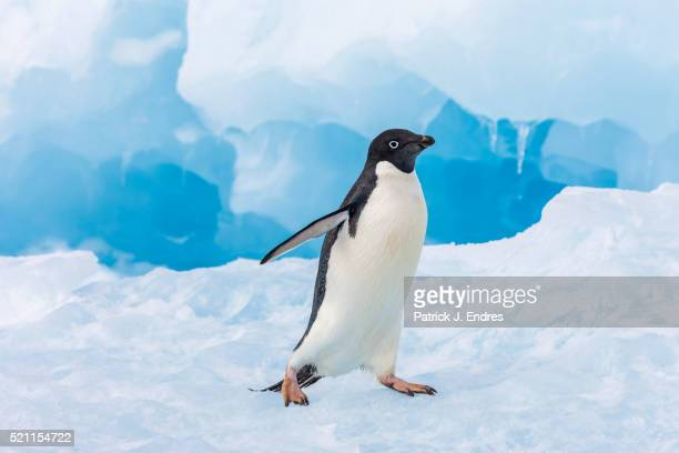 Solitary adelie penguin