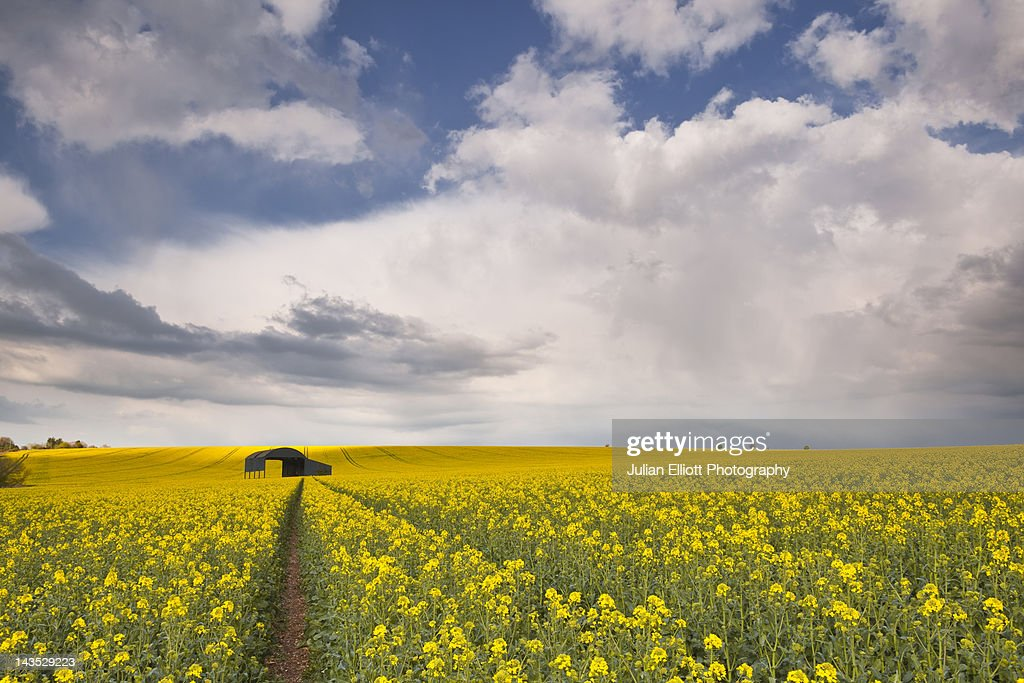 Solitary barn in a field surrounded by rapeseed. : Stock Photo